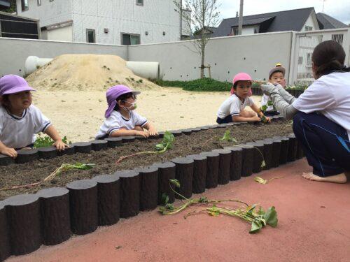 サツマイモの苗を植えました
